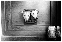 Levrieri (Whippet,Galgo,Greyhound)