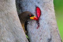 Burung Penghisap Darah Paling Mengerikan