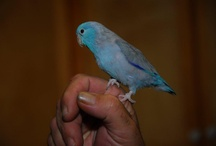 Skittles & Bella .... My Parrotlets!!! So Sweet♥♥♥ / by Sandra Childress