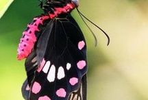Kelebekler (Butterfly )
