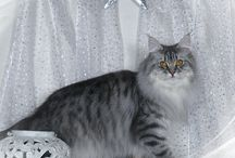 Maine Coon - Blue Silver Mackerel / #MaineCoon #Blue #Silver #Mackerel # Cats