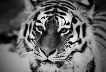 tygri