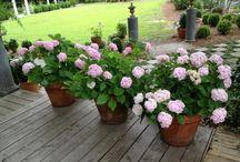 Hydrangea care in pots