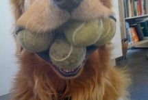 Golden retrievers and other dogs