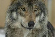 Animal - Wolf