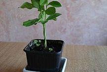 plant fait de pépins