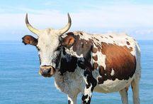Nguni / Cattle