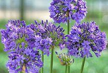 I love Agapanthus flowers.