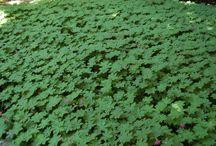 Geranium macrorrhizum 'Ingwersen's Variety' / In leaf, in flower and in winter
