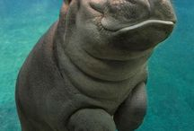 Hippos - бубоньки:)