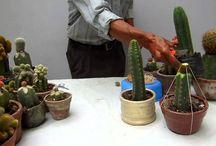 injertos de cactus!!