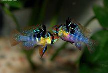 Peixes de Água Doce - Ciclídeos