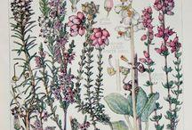 Ботанические рисунки