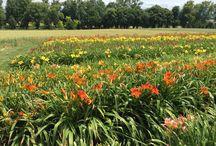 Lys-hémérocalles / Les Jardins du Château de Vullierens connus pour leurs iris sont également une référence pour les lys-hémérocalles avec plus de 200 variétés