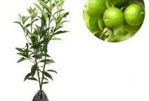Berbuah 1-2 tahun / Semua tanaman dalam board ini bisa dikirim keseluruh Indonesia, silahkan order ya, tel: 0341-599399 I SMS center: 08569020300 atau kunjungi website kami www.kebunbibit.id