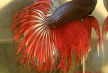 IBC Variations / Bettas bred by our IBC members which do not have a specific  class / by International Betta Congress