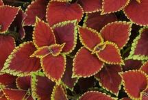 COLEUS / Varieties & Colour