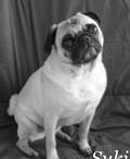 Pug Photos / by J.w. Julia Wendy Logston Henderson
