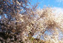 #Almendros en flor. #Sorvilán. #Contraviesa #Alpujarra / Unos de los momentos más bellos de la #naturaleza son los #almendros en flor en la Sierra La #Contraviesa. Un espectáculo en los meses de enero y febrero que no te puedes pierdas. #Alpujarra. #Granada. #Andalucía.