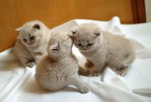 my next cat will be a british shorthair
