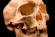 skull / design skull