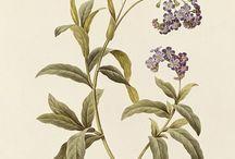 | Illustration | Botanical + Fauna