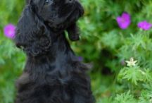 Cocker Spaniels / by Dogsclub .TV