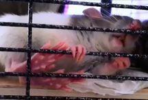 Dumbo Rats <3