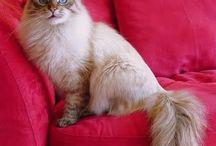 Siberische katten
