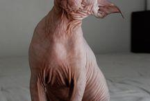 Hairless Cats 1.