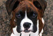 Boxer Dog / Boxer Dog Facts, Boxer Dog Temperament, Boxer Dog Puppy, Boxer Dog Puppies