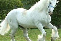 shirehäst