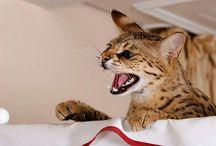 Savannah Katze / Savannah-Katzen
