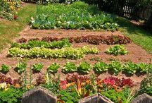 Vegetable gardens <3 / by Amanda Debot