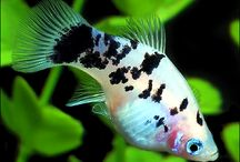 Platies / Platies are available in many beautiful colors and have been a favorite among aquarists for a long time. To see more click on ... http://www.AquariumFish.net/catalog_pages/livebearer_platies/platies_table.htm  / by AquariumFish.net