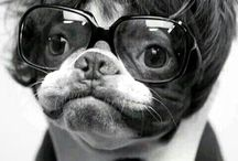 French bulldogs / Stylish dogs