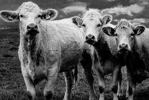 Large Animal Health