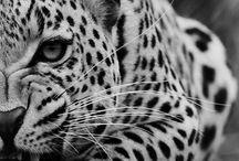 Tiger, Lion, Puma  stc..