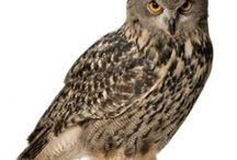 Uilen, owls