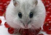 Hamster :)
