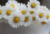 Daisy, Daisy..... / White & Yellow - Sunny and cheerful! / by Penny Studley