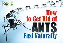 Ant menace