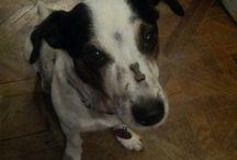 Supa the Jack Russel Terrier