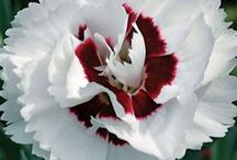 ~Dainty Diantus~ / ~Beauties of the Flower Garden~