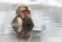 """#Snow_Monkeys_Japanese_Macaques_thru_my_african_lens / These Japanese Macaques descend into the valley during winter days to bathe in the hot spring pools.  They are also referred to as 'Snow Monkeys"""" and can be found at Jigokudani Hot springs which is located in a very small village called Jigokudani, meaning """"Hell's Valley"""" due to the steam & boiling water that bubbles out of small crevices in the frozen ground. I had the privilege to photograph them. It was always on my wish list, my dream became a reality - I feel honored."""