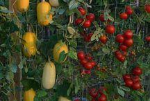 Kinti termesztés