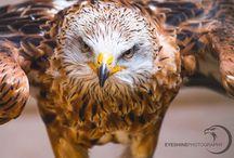 Birds of Prey | Eyeshine Photography / Birds of Prey by Eyeshine Photography