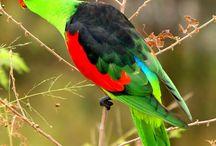 """Aprosmictus / Il genere aprosmictus comprende due specie di pappagalli australiani molto appariscenti, caratterizzati da una vistosa livrea a base verde con dorso nero ed ali rosse. Il nome aprosmictus deriva dal greco e significa """"asociale"""", che starebbe ad indicare un'indole solitaria da parte di questo magnifico psittacide."""
