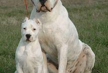 Dogo Argentino