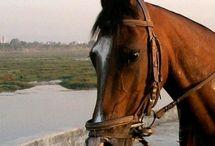 Le Kathiawari / Autrefois cheval militaire, le Kathiawari a des origines identiques à celle du Marwari, en effet ces deux races sont issus de croisements, qui ont été très nombreux, mais principalement ils ont eu lieu avec des petits chevaux locaux et de l'Arabe. Élevé dans la Péninsule de Kâthiâwar en Inde Occidentale, le Kathiawari est un race rare qui est méconnue hors de son pays d'origine alors qu'elle bénéficie d'une excellente réputation en Inde.